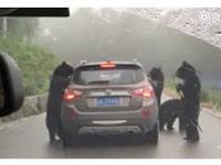 Seram, Sekelompok Beruang 'Serang' Mobil Wisatawan