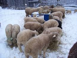 Corriedale Sheep Disadvantages, Advantages, Wool Grade, Price