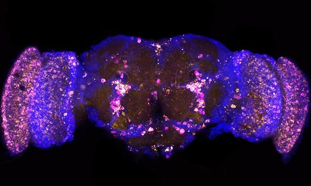 تم تطوير علاج وراثي يؤدي إلى حياة ذباب الفاكهة لمدة أطول تصل إلى تسعة بالمائة.
