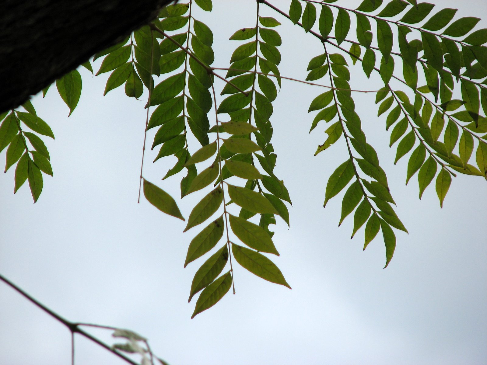 Image Gallery jacaranda leaves