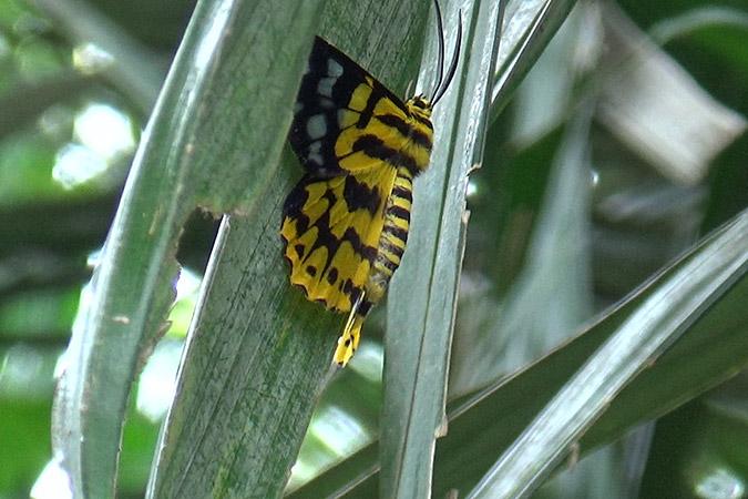 Dlium Dasih tiger moth (Dysphania subrepleta)