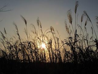 夕日に照らされたススキのシルエット