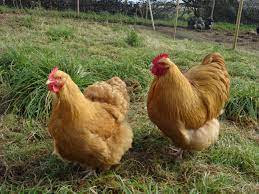 Orpington chicken : Uniqueness, Origin, and Characteristics All You Need to Know