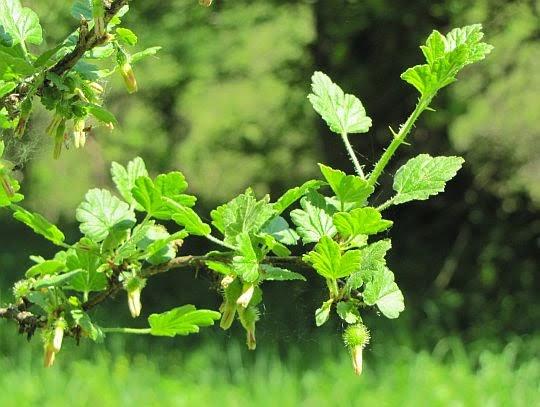 Porzeczka agrest (Ribes uva-crispa L.).