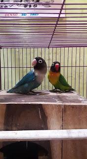 sepasang indukan lovebird cobalt