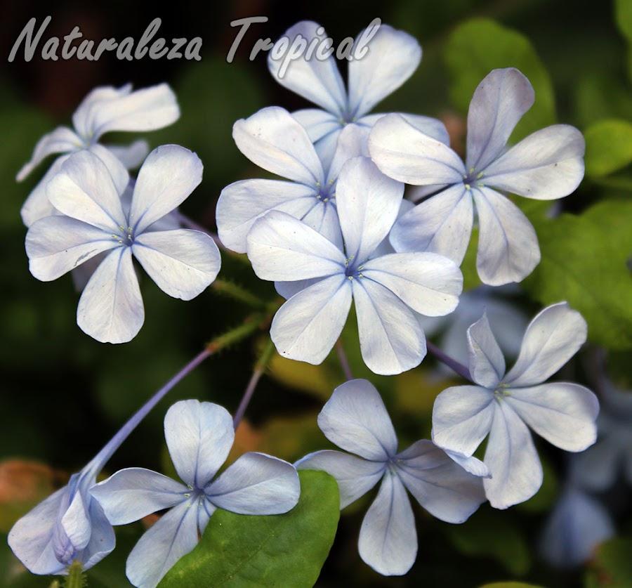 Las flores conocidas como Celestinas, Plumbago auriculata