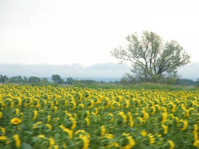 Speeding by a sunflower field.