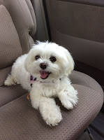 puppy dog maltese