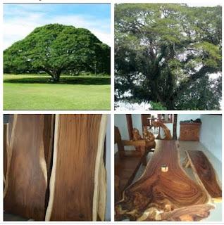 Kekurangan dan kelebihan kayu trembesi untuk furniture