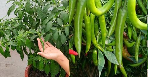 फ्रिज में रखी मिर्च से कैसे उगाएं मिर्च का पौधा, करने होंगे बस ये 5 काम