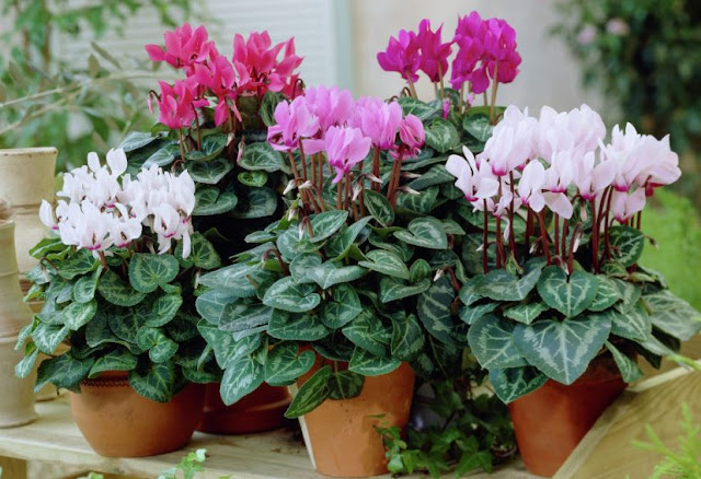 Cyclamen Persicum INDOOR PLANT