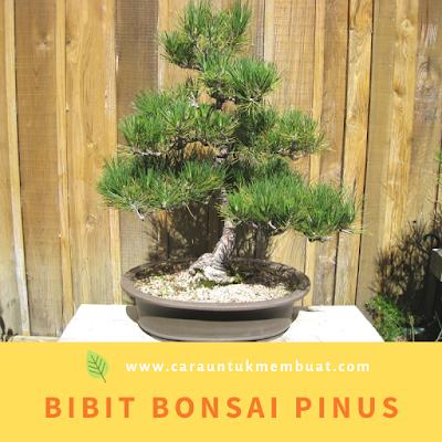 Bibit Bonsai Pinus