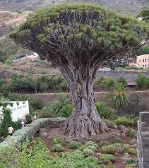 Pohon+Naga+Spanyol - 10 Pohon Terunik di Dunia