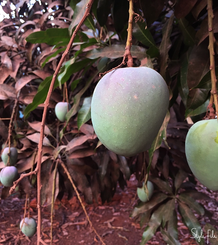Image of a green mango fruit hanging from a mango tree in Goa