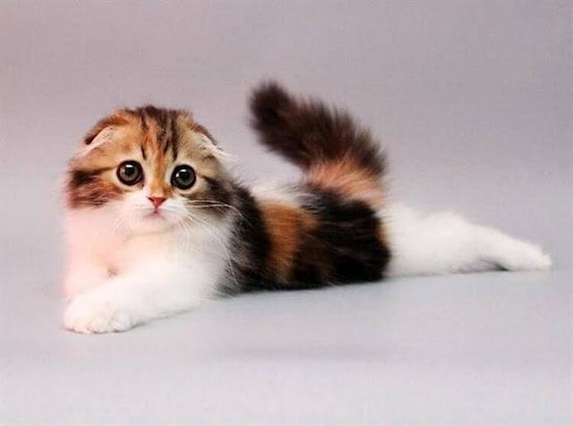 Очаровательные котята породы хайленд-фолд, невероятно милые и пушистые создания