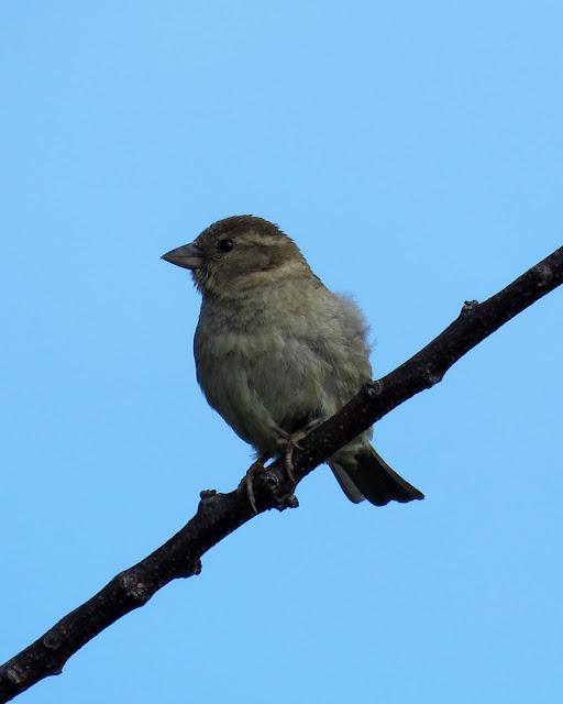 Sparrow on a branch, Spianata del Molo Mediceo, Livorno