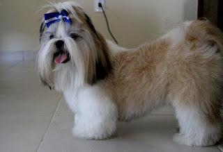 cão com lesão de coluna