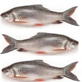 कालव मासा, रुई मासा, Rohu fish name in Marathi