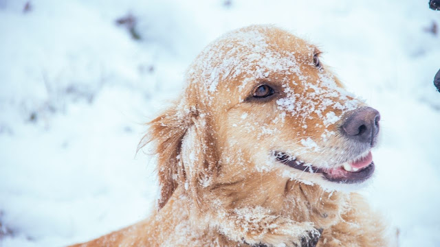 Can Golden Retrievers Survive in Cold Weather?