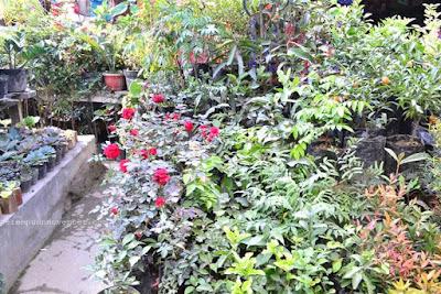 berastagi's flower