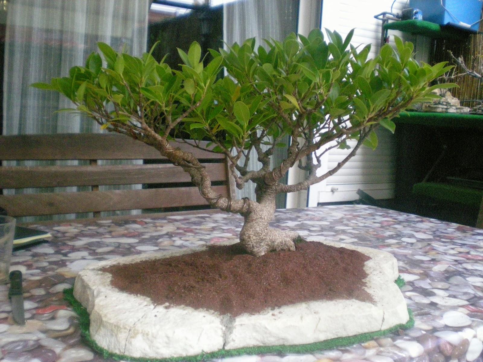 Expr sion bons i n 1 la historia del ficus retusa for Drenaje de jardin