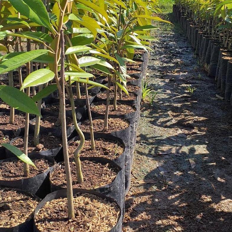 Bibit Durian Montong Super jumbo Jawa Barat
