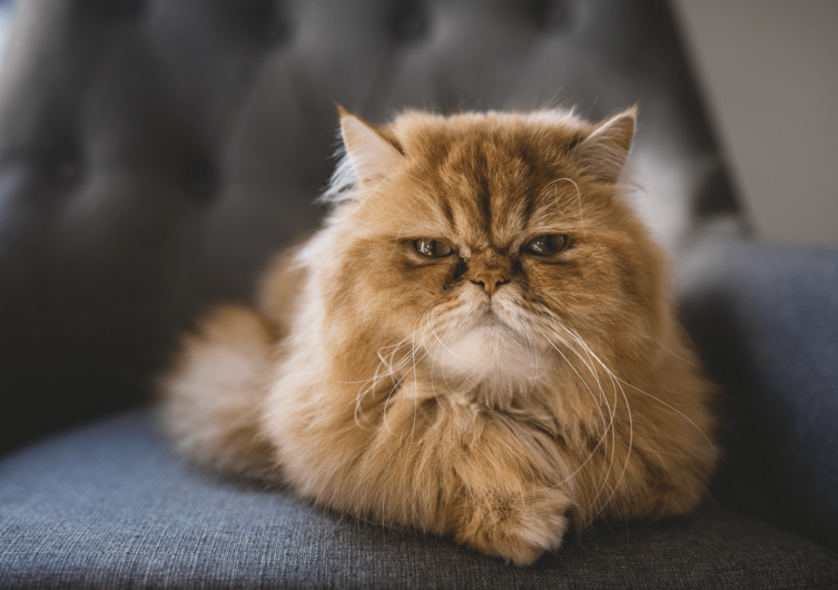 Chimären Katze