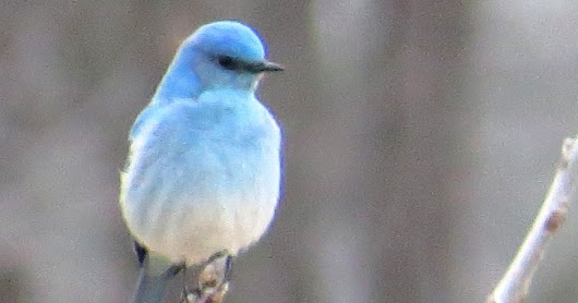 Penelopedia: Nature and Garden in Southern Minnesota: Mountain Bluebird - Rare in Minnesota