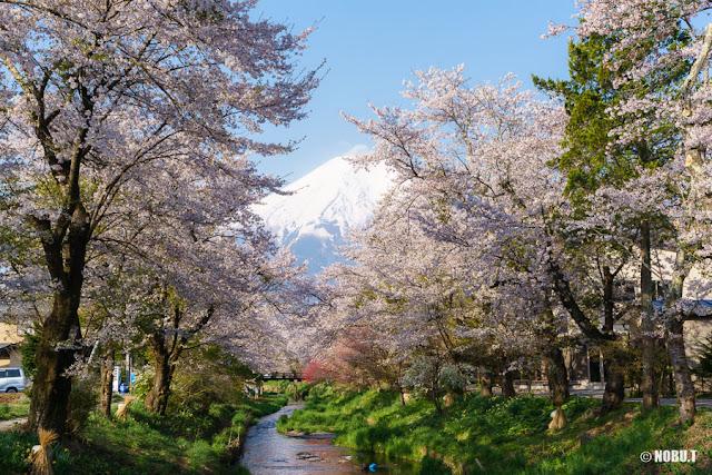 新名庄川・お宮橋(忍野村)からの富士山と桜