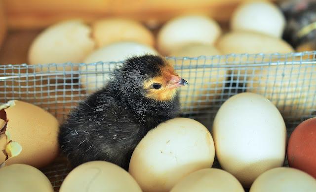 Peluang Usaha Beternak Ayam Kampung Super