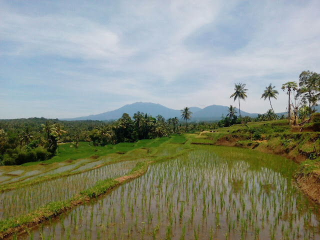 Sawah terasiring di Desa Banjar, Kec. Licin, Banyuwangi.