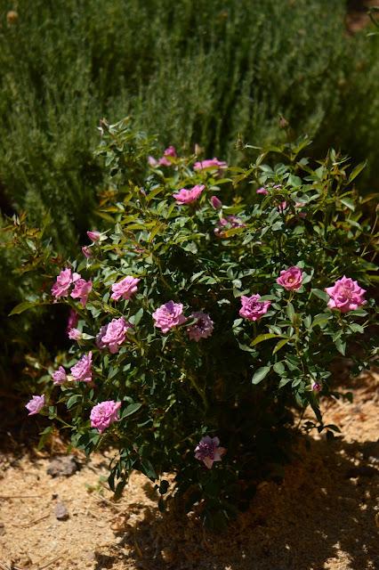 rose, lavender, small sunny garden, desert garden, miniature roses, amy myers, photography, kordes