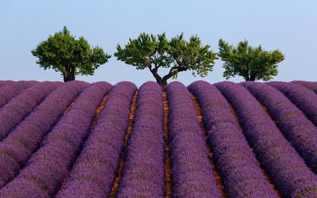 Saigonese create lavender paradise in Da Lat 3