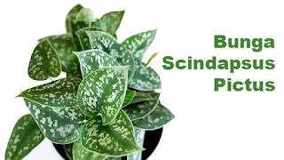 Bunga Scindapsus Pictus