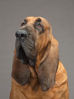 cães de orelha grande