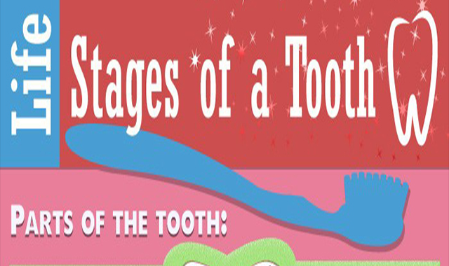 A Tooth Life Stages #infographic