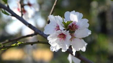 Fiesta en invierno: la floración del almendro, especie introducida muy nuestra