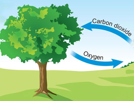 كيف تنتج الاشجار الاكسجين