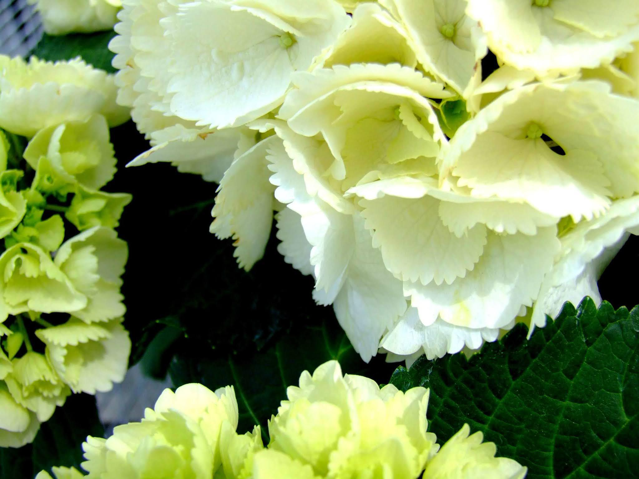 おそらく、シュガーホワイトという品種の白いあじさいの写真素材です。清楚できれいですよね。