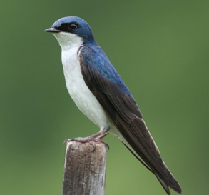 Suara burung tree swallow