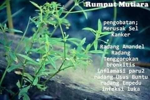 rumput mutiara pokok khasiat penawar penyakit
