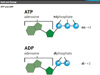 Atp Molecule Diagram