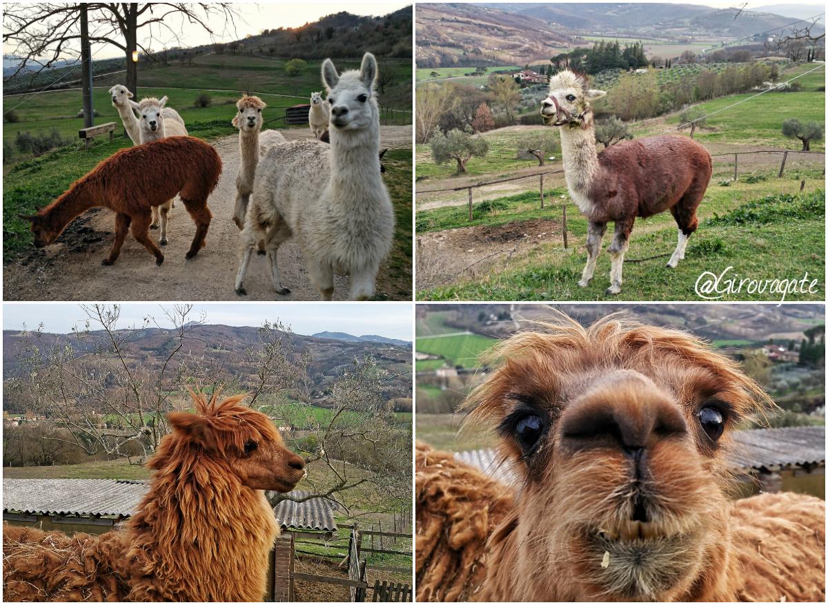 maridiana alpaca visit alta umbria
