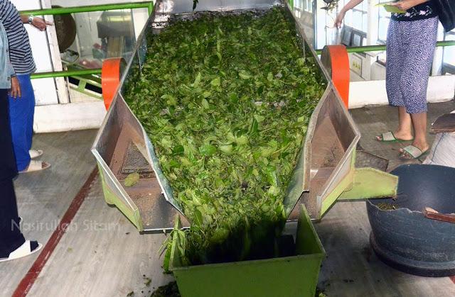 Mengurai daun teh yang akan dilebur