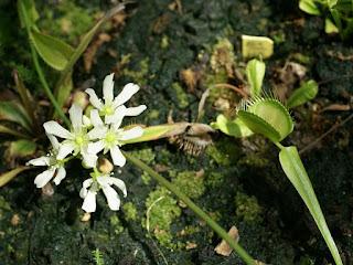 Dionée attrape-mouche - Dionaea muscipula