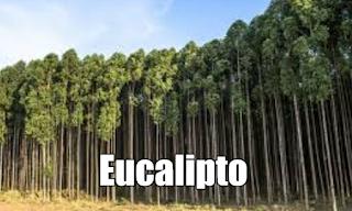 Eucalipto , propiedades, beneficios y usos