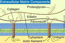 Hücreler Arası Matriks Nedir?