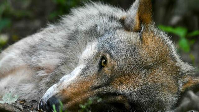 "EEUU reautoriza uso de ""bombas de cianuro"" para matar a animales"