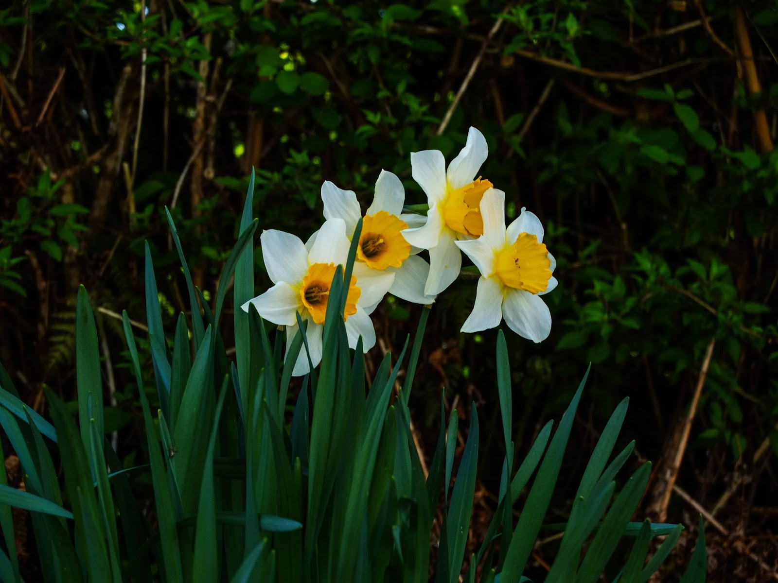 A clump# of daffodils pictured under a hedge.