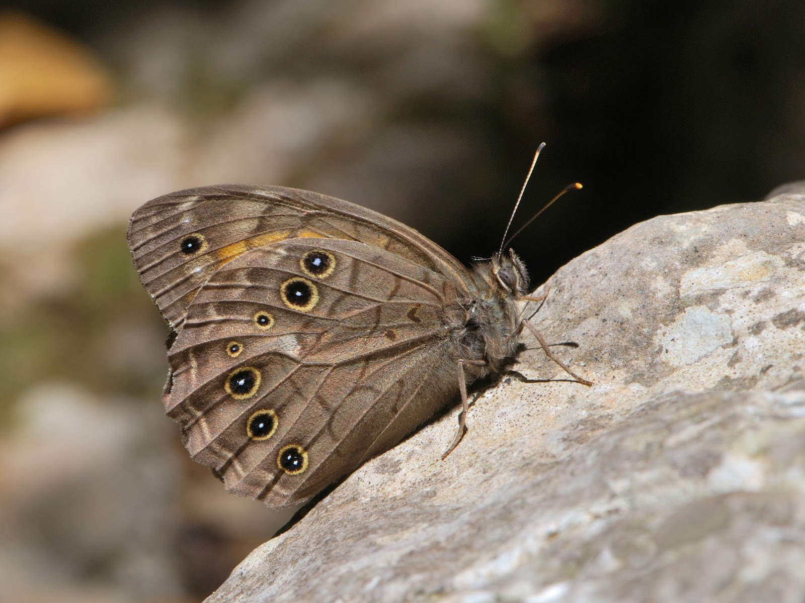 Insects: Kirinia roxelana male 1